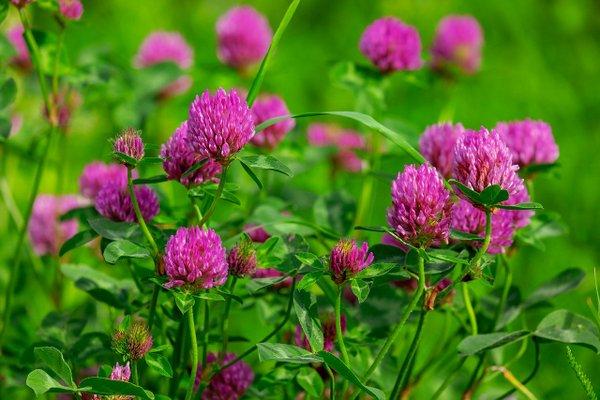 cvetove-na-chervena-detelina-nsp
